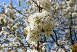Zimna wiosna opóźniła niektóre prace na polach i w sadach. Nawet o trzy tygodnie! Przyroda nadrobi stracony czas