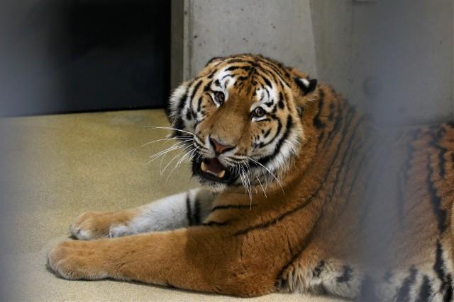 Diego to 2-letni tygrys syberyjski. Przyjechał do Opola w czwartkowe (18.02) popołudnie. Do kwietnia w zoo mają się też pojawić dwa lwy. Wcześniej w ogrodzie powstał nowoczesny kompleks wybiegów dla tych dużych kotów.