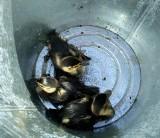 Ratowali małe kaczuszki w Kowalach ZDJĘCIA