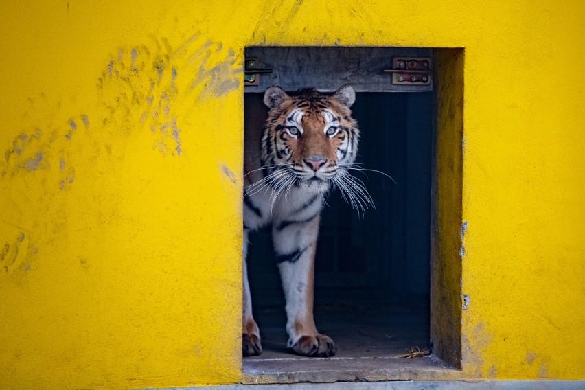 Udało się załatwić sprawy związane z transportem tygrysów...