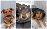Przygarnij psa z lubelskiego schroniska. Te urocze psiaki z utęsknieniem czekają na nowy dom! Zobacz zdjęcia [17.06]