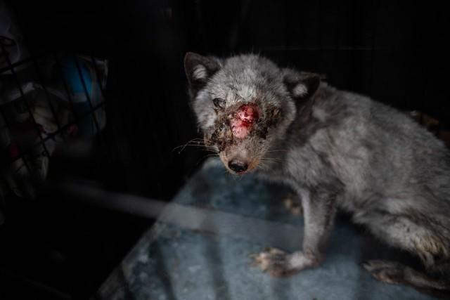 Czy właściciel fermy futrzarskiej znęcał się nad zwierzętami?
