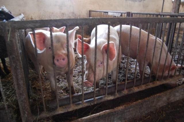 Świnie hodowane w województwie lubuskim nie pojadą na Ukrainę. Jest zakaz