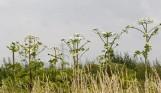 Śmiertelnie groźna roślina w gminie Nysa. Widziałeś ją? Sprawdź gdzie to zgłosić