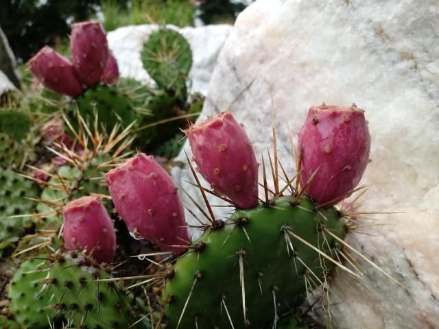 Opuncja brązowokolczastaCiekawą propozycją do stworzenia egzotycznego zakątka w ogrodzie są mrozoodporne kaktusy. Jednym z tego typu gatunków opuncja brązowokolczasta, która pięknie owocuje na przełomie lata i jesieni. Należy jednak wiedzieć, że owoce te są niejadalne.