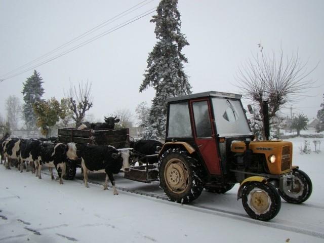 Część rolników zwoziła swój dobytek do ciepłych obór.