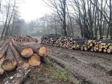 Kleszczów. Drzewa idą pod topór. Ludzie mówią, że to rujnowanie lasu, a nadleśnictwo, że planowa wycinka