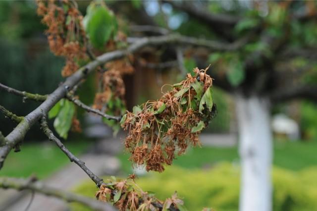 """Nocne przymrozki dają się nam jeszcze we znaki. Ogrodnicy liczą, że do 15 maja, czyli do """"zimnej Zośki"""", pogoda się poprawi i będzie wreszcie cieplej"""