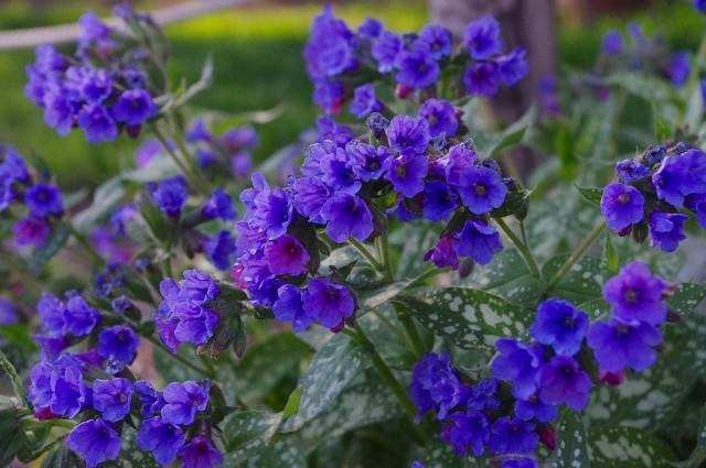 Miodunka jest ładna i niezbyt wymagająca, a w dodatku to roślina miododajna i lecznicza.