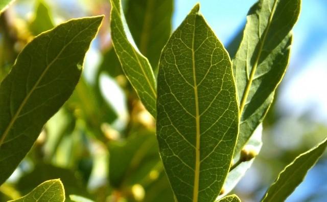 Laur to dekoracyjny krzew, który można uprawiać na tarasie. Zamiast więc tylko kupować jego suszone liście, zainteresujmy się samodzielną uprawą.