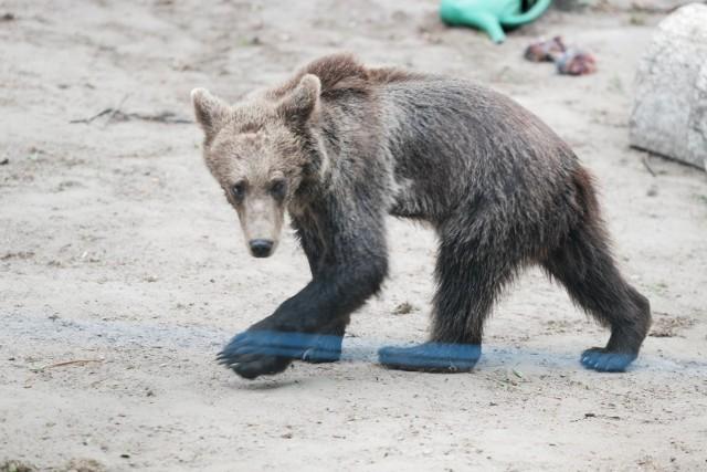 Honorową ambasadorką projektu została niedźwiedzica Cisna.