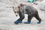 Niedźwiedzie wargacze znajdą schronienie w poznańskim zoo