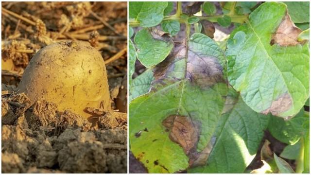 Po prawej stronie - zaraza ziemniaka