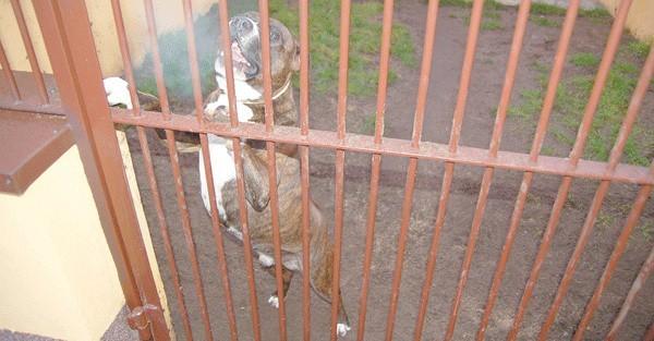 Ten pitbull trafił do szczecineckiego schroniska z interwencji, bo właściciel trzymał go cały czas w garażu. – Gdy go przywieźli, to była sama skóra i kości – mówi Danuta Kadela.