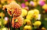 Jesienne kwiaty do domu oraz ogrodu. Najpiękniejsze gatunki, które kwitną jesienią [ZDJĘCIA] 22.09.21