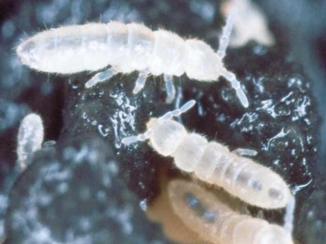 SkoczogonkiSkoczogonki mają najczęściej mleczny, na pół przezroczysty kolor.
