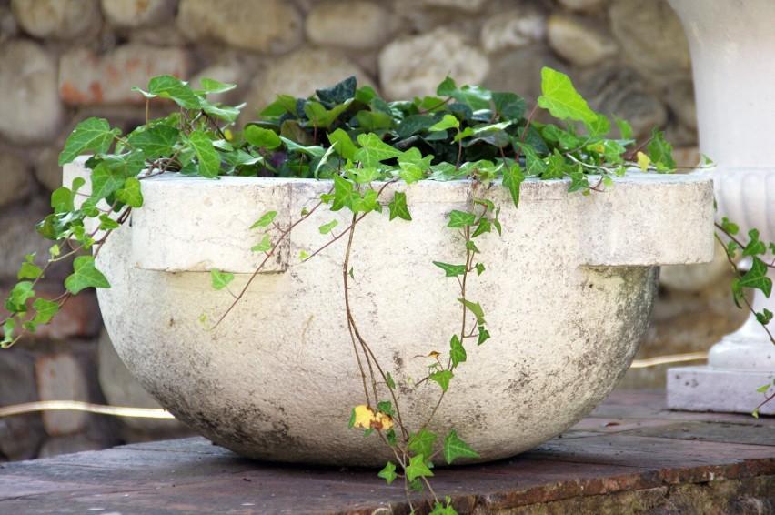 Niektóre rośliny domowe mają właściwości lecznicze albo......