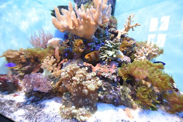Egzotyczne zwierzęta morskie.Okazy, które widzicie na zdjęciach, w naturalnych warunkach zamieszkują wybrzeża Malezji, Cebu, Sri Lanki i Tajlandii. Można je oglądać na ekspozycji żywej rafy koralowej w Muzeum Rybołówstwa Morskiego w Świnoujściu.
