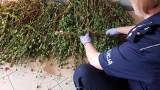Wysokomorfinowy mak rósł na jednej z działek rekreacyjnych w Sanoku. Było go 13 kilogramów [ZDJĘCIA]