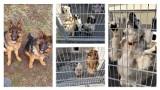 Znęcała się nad 37 psami! Zapadł prawomocny wyrok w sprawie pseudohodowli pod Grudziądzem
