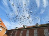 Proekologiczne ozwiązanie dużej ilości gołębi w mieście? Platformy lęgowe dla sokołów. Takie rozwiązanie zastosowano w Nowym Dworze Gdańskim