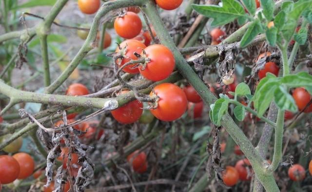 Pomidory są wrażliwe na wiele chorób. Dlatego trzeba zapewnić im odpowiednie warunki uprawy.