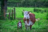 Dobrostan zwierząt w 2021 roku z kilkoma zmianami. Im więcej krów, tym mniejsza dopłata, pieniądze także dla owiec