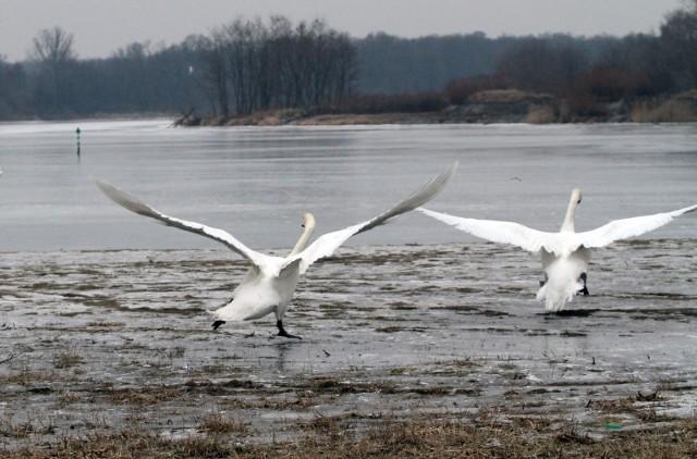 Ptasia grypa nie odpuszcza. Chory łabędź pod Wrocławiem
