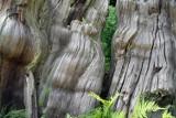 Ikei odebrano certyfikat ekologiczny. Wycinała 600-letnie lasy