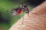 Komar – śmiertelny wróg człowieka. Czy polskie komary są groźne?