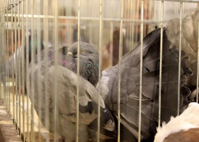 Targi gołębi pocztowych