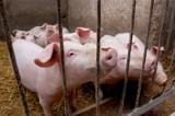 ASF na granicy Pomorza. Liczba hodowli trzody chlewnej na Pomorzu zmniejsza się, na co wpływ ma nie tylko afrykański pomór świń