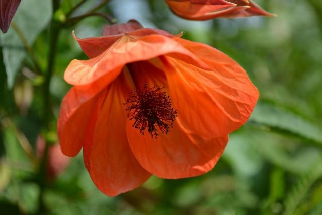 Zaślaz (łac. Abutilon)Zaślaz zwany jest klonikiem pokojowym. Tę roślinę egzotyczną często uprawiamy w doniczkach, ponieważ ma dekoracyjne liście i piękne kwiaty.