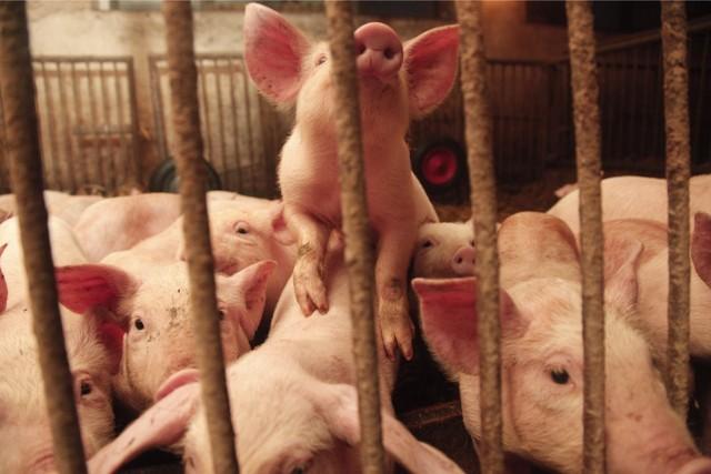 Z powodu ASF pod Kaliszem zutylizowano ponad 100 świń.