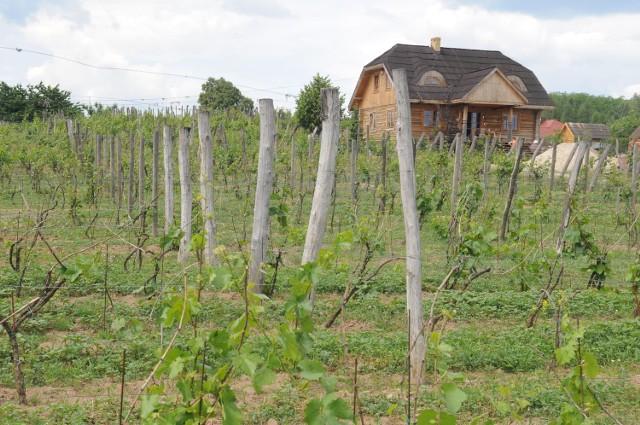 Lubuskie winnice zachwycają swoim urokiem.