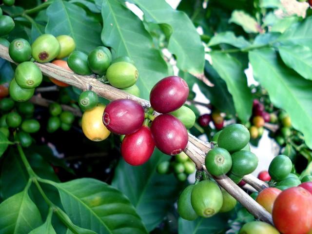 Owoce kawy Kawa należy do roślin dość rzadko uprawianych w naszych mieszkaniach, mimo że jest rośliną łatwą w uprawie. Coraz łatwiej kupić jest jej nasiona oraz sadzonki.