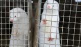 Na Pomorzu wykryto norki hodowlane zakażone koronawirusem! To pierwszy taki przypadek