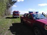 Bzury. Strażacy z trzech jednostek prowadzili poszukiwana krowy. Powiodły się (zdjęcia)