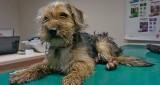Awantura o psa w Kościerzynie. Prokuratura sprawdzi, czy straż miejska zaniedbała swoje obowiązki