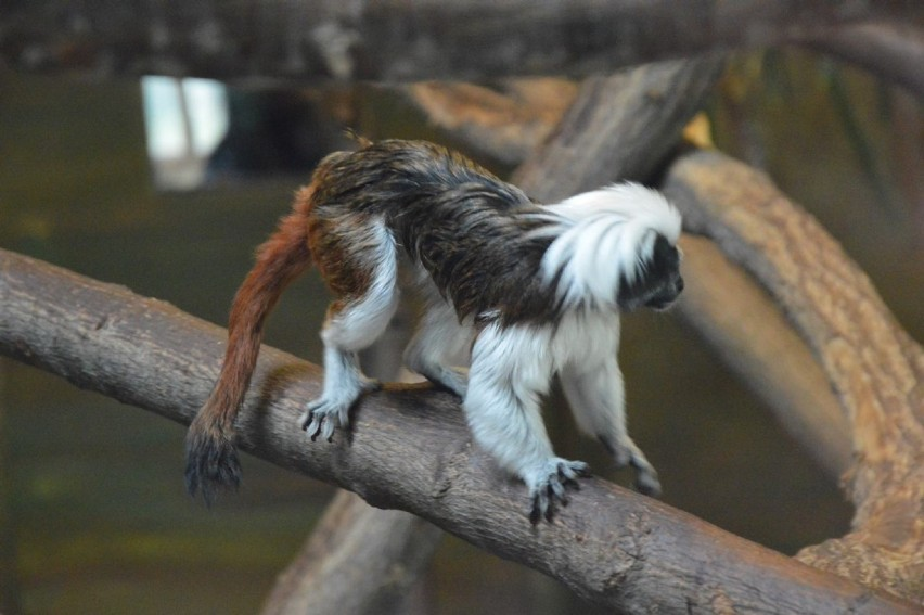 W Zoo Safari w Borysewie powiększyła się rodzinka tamaryn białoczubych. Małpy z zagrożonego wyginięciem gatunku po raz pierwszy urodziły się w zwierzyńcu koło Poddębic późną jesienią 2018 r., choć w prywatnym ogrodzie zoologicznym państwa Pabichów czuć już było wtedy zbliżającą się zimę. Tym razem czas porodu przypadł na pełnię wiosny. Okazją do zobaczenia maleństw, które praktycznie nie schodzą mamie z pleców, będzie w Dzień Dziecka.CZYTAJ DALEJ NA NASTĘPNYM SLAJDZIE