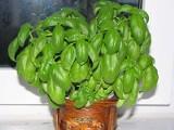 Bazylia, estragon, rozmaryn. Zioła można sadzić w domu.