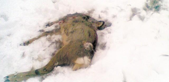 To zdjęcie zrobił nasz Czytelnik. W niedzielę sarna jeszcze żyła. W poniedziałek została po niej padlina. Wczoraj – szczątki.
