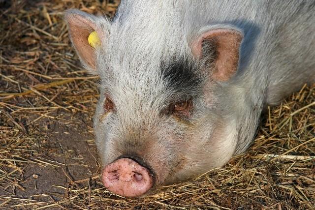 Ceny skupu świń spędzają sen z powiek hodowców. Trudno myśleć o opłacalności tej produkcji.