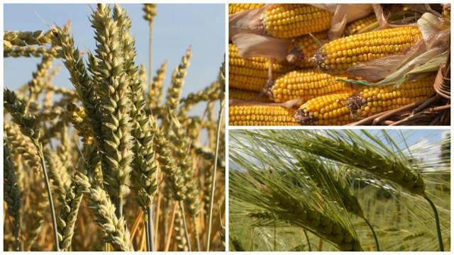 Dopuszczenie upraw GMO - według Podlaskiej Izby Rolniczej - wiązałoby się z eliminacją tradycyjnego modelu rolnictwa i wzrostem bezrobocia na wsi, latyfundyzacją obszarów rolnych, uzależnieniem rolników od dostaw opatentowanego ziarna siewnego, zapaścią rolnictwa ekologicznego...