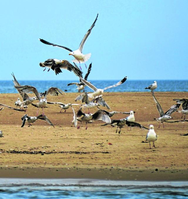 Mewy gniazdują chętnie na nadmorskich, piaszczystych łachach