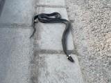 Martwy wąż leży na alei Sikorskiego w Rzeszowie