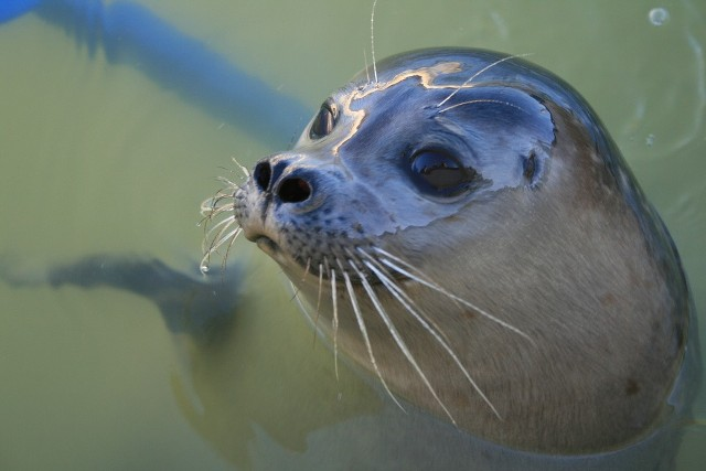 Młode foki ze stacji morskiej w Helu zaczęły samodzielne życie