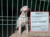 Pies ludojad w izolatce! Amstaff zjadł swoją panią! Co dalej z psem?[zdjęcia]