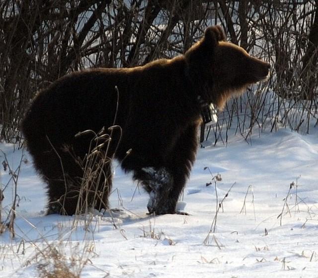 Niedźwiedzica, która przyszła do Przemyśla, a później Chorzowa k. Pruchnika na razie przebywa w zoo we Wrocławiu.