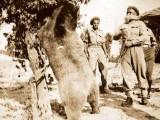 Szeregowy Wojtek - niedźwiedź z armii Andersa
